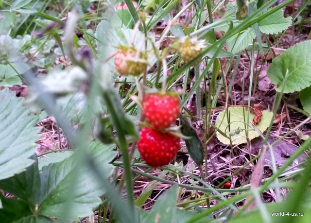 gumer_canyon_strawberry
