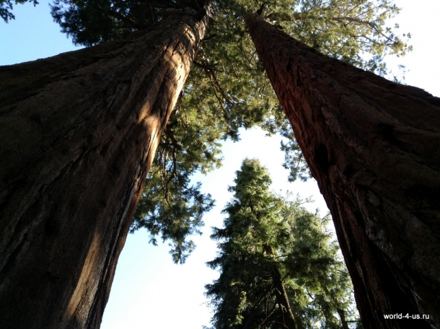 Sequoia Tall trees